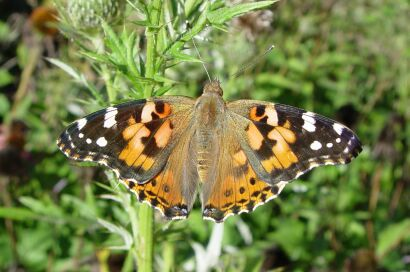 Some Basic Information on the Four Vanessa Butterfly Species